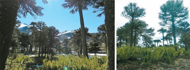 Até chegar ao encontro da neve, o visitante verá cenários com muitas araucárias (Edilson Segundo/Arquivo Pessoal)